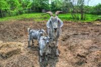 Goats Fine Art Print