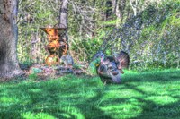 Turkey and Corn Husker Fine Art Print