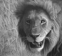 Lion In The Massai Mara Fine Art Print