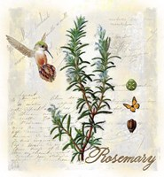Rosemary Herb Fine Art Print