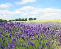 English Lavender Field 1 Fine Art Print