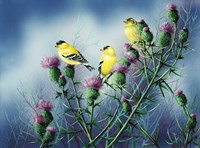 American Goldfinch And Thistle Fine Art Print
