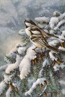 Chickadee In Spruce Fine Art Print