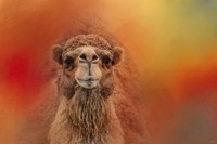 Dromedary Camel Fine Art Print