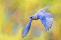 Bluebird Spring Flight Fine Art Print