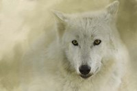 Portrait Of A Timber Wolf Fine Art Print
