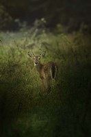 Fawn In The Field Fine Art Print