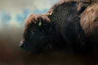 American Bison After The Storm Fine Art Print