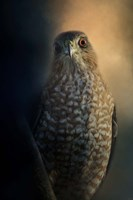 Coopers Hawk At Sunset Fine Art Print