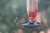 Hummingbird 1 Fine Art Print