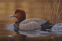 Redhead Duck Fine Art Print