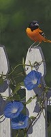 Oriole Morning Glories Fine Art Print
