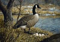 Canadian Goose Fine Art Print