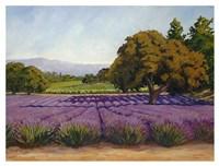 Lavender Fields Fine Art Print