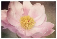 Peony in the Park Fine Art Print
