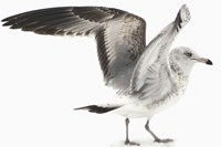Gull I Fine Art Print