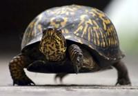 Box Turtle Fine Art Print