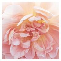Heavenly Rose Fine Art Print
