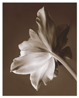 Moonglow Tulip Fine Art Print