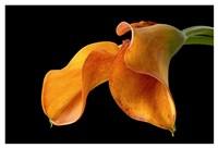 Double Orange Calla Fine Art Print