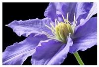 Purple Clematis Fine Art Print