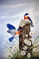 Bluebirds With Daisies 2 Fine Art Print
