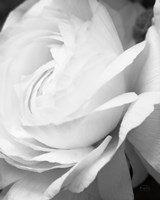 Black and White Petals II Fine Art Print