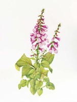 Candy Mountain Foxglove Fine Art Print
