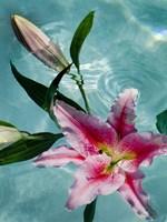 Floating Lilies 5 Fine Art Print