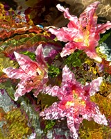 Stargazer Lilies 2 Fine Art Print
