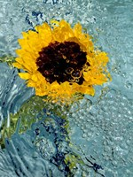 Submerged Sunflower 2 Fine Art Print