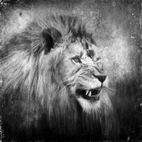 Snarling In Black And White Fine Art Print