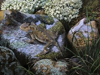 On the Rocks, Great Horned Lizard Fine Art Print