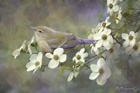 Orange Crowned Warbler On Dogwood Fine Art Print