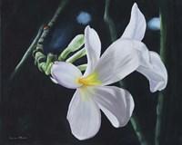 White Frangipani Fine Art Print