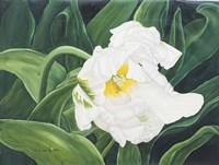 White Tulip Perth1 Fine Art Print