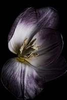 Antiqued Tulip Fine Art Print