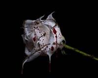 Bleeding Rose Fine Art Print