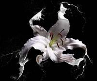 Lily Splash Fine Art Print