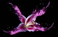 Liquid Lilly Fine Art Print