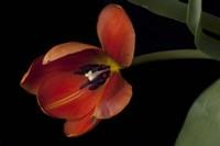 Orange Tulip Fine Art Print