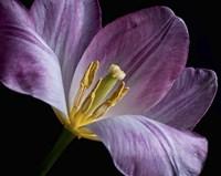 Peekaboo Tulip Fine Art Print