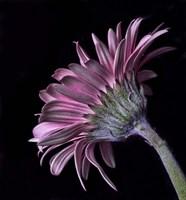 Pink Gerber Daisy Fine Art Print