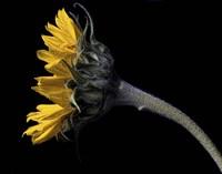 Sunflower Profile Fine Art Print