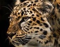 Amur Leopard Copy Fine Art Print