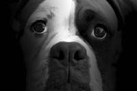 Boxer Pup Fine Art Print