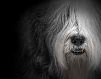 Sheepdog Fine Art Print