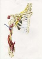 Brachial Plexus Fine Art Print
