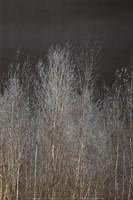 Silver Forest III Fine Art Print
