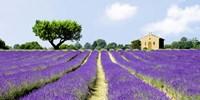 Lavender Fields, France Fine Art Print